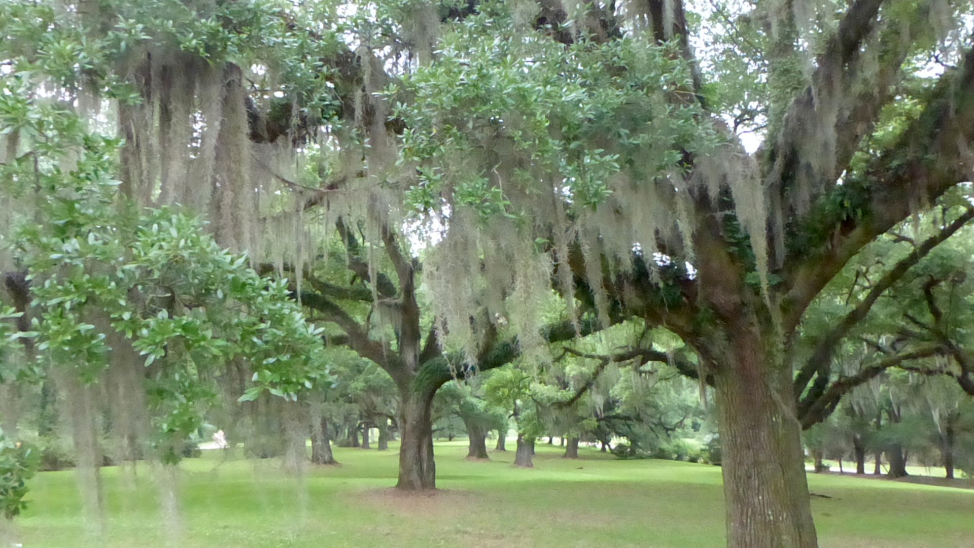 Les chênes de la plantation Greenwood