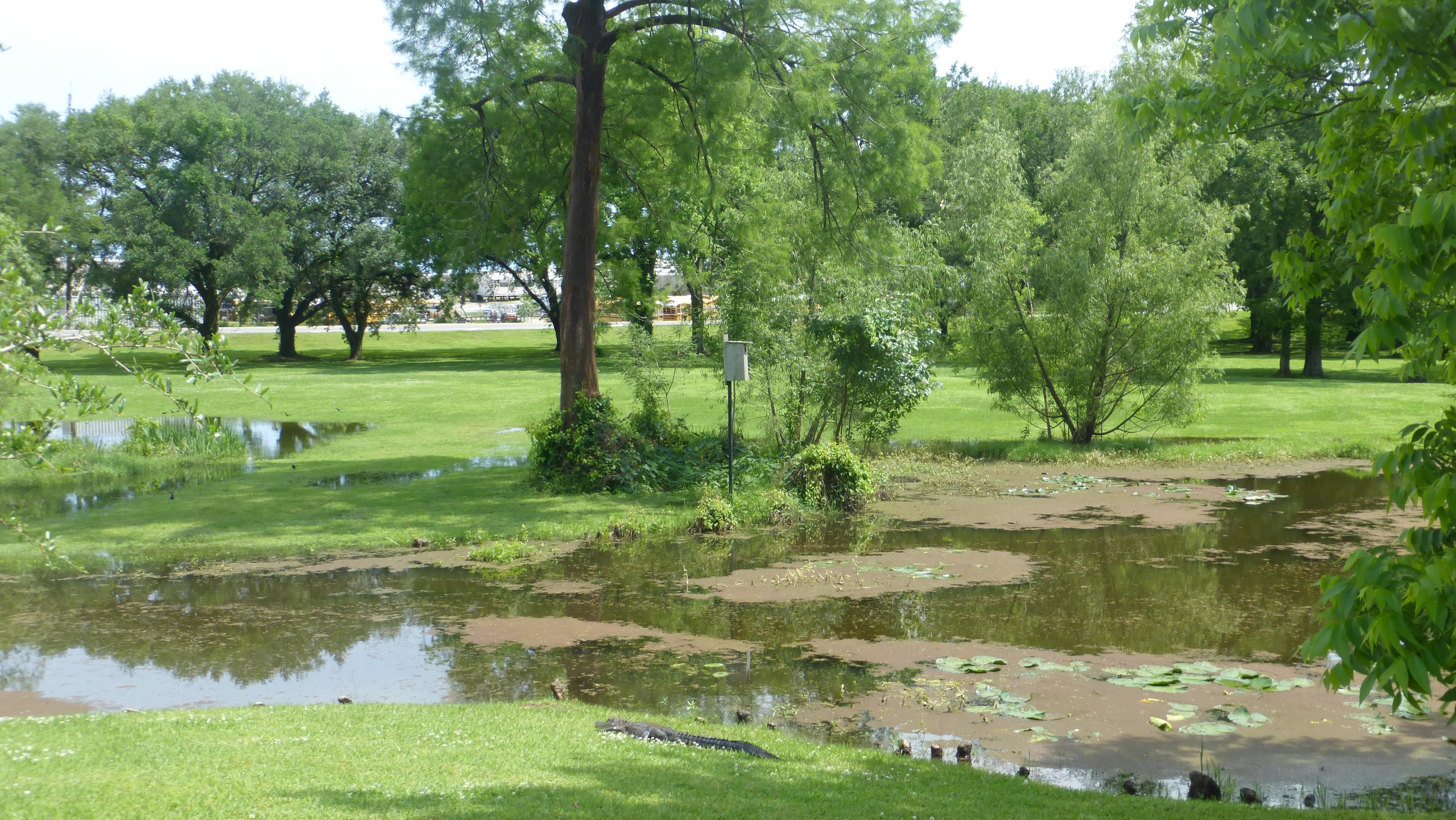 Vermillon village, l'alligator dans son environnement