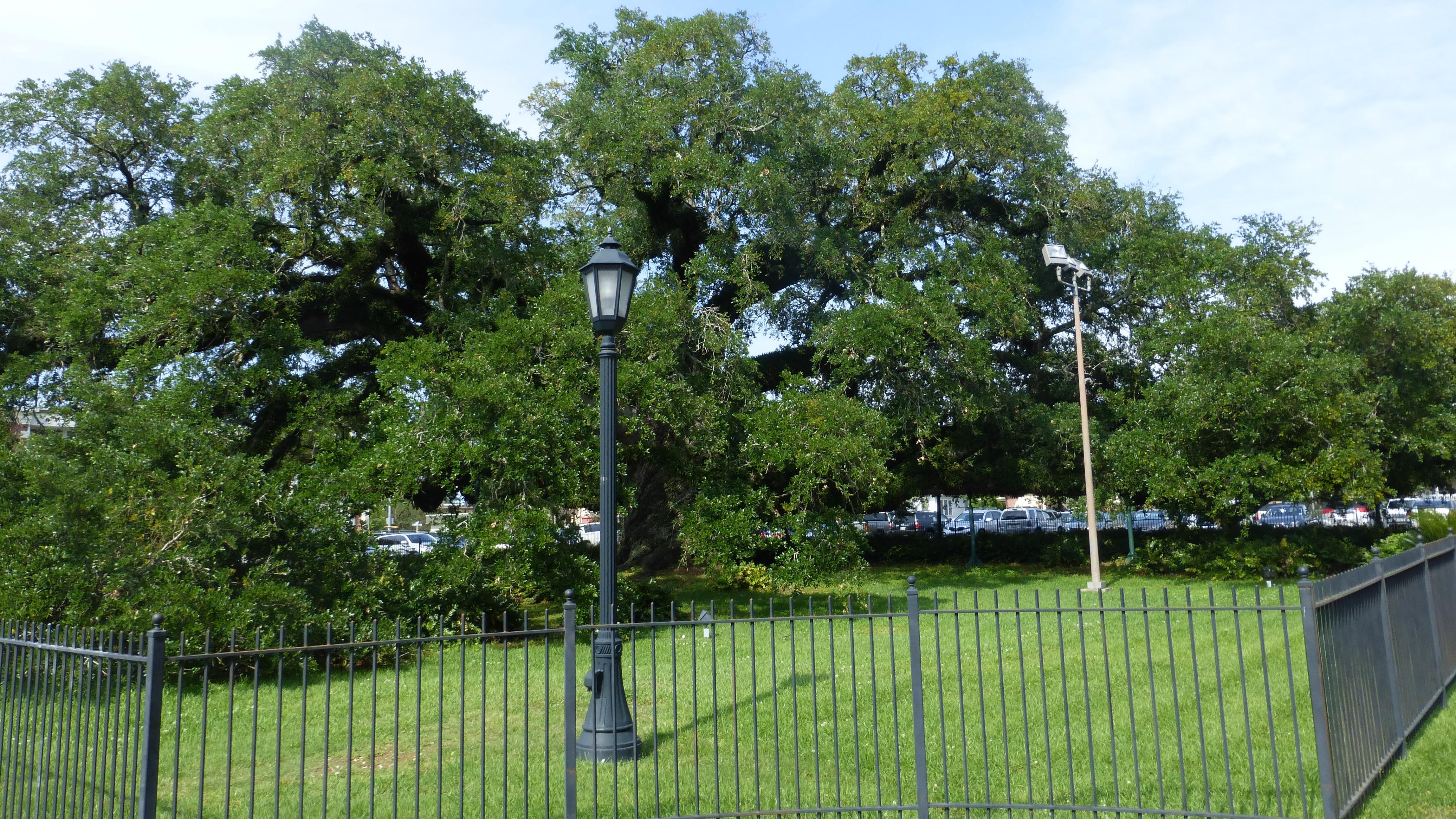 Lafayette, le chêne majestueux de l'église